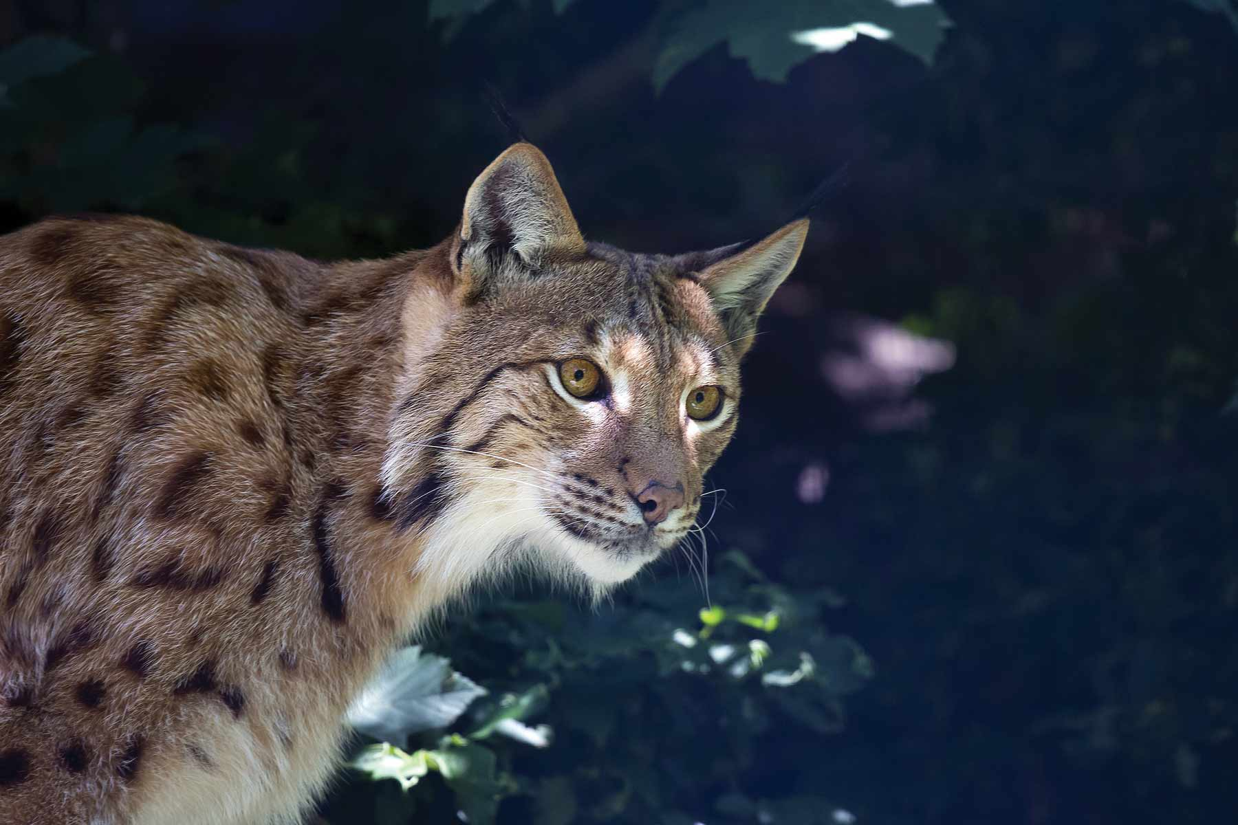 lince-1